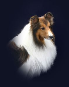 Shetland Sheepdog - beautiful...reminds me of Goldie...from my childhood