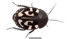 A question mark cockroach (Therea olegrandjeani) (Credit: Alex Hyde/naturepl.com)