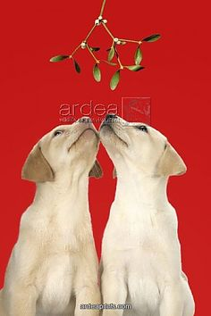 Mistletoe not really needed for labs, they are 24/7/365 kissers.