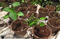 Repotting seedlings helps you grow larger plants for your garden. Learn when to transplant seedlings to bigger pots, and how to pot them up step-by-step. Tomato Cultivation, When To Transplant Seedlings, Growing Peppers, Growing Jalapenos, Tomato Seedlings, Paper Pot, Starting Seeds Indoors, Pepper Plants, Container Gardening Vegetables