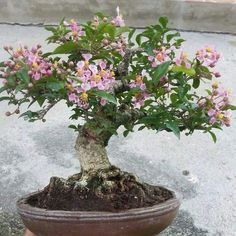 Helpful Guidelines In Growing Indoor Bonsai Trees . Bonsai Soil, Bonsai Art, Bonsai Plants, Bonsai Garden, Bonsai Trees, Ikebana, Mame Bonsai, Indoor Bonsai Tree, Miniature Plants