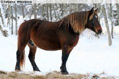 Estonian Draught - mare Ewita