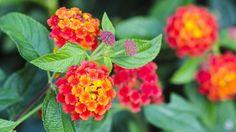 Présent dans les zones tropicales et autour de la Méditerranée, le lantana est employé en Afrique comme insectifuge.