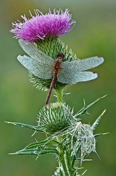 Dewy Red Dragonfly on Thistle...