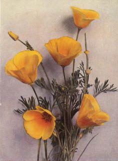 Victorian Botanical Illustrations free   1929 California Poppy Botanical Illustration. A Delightful Handpainted ...