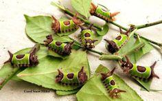 Saddleback Caterpillar - Acharia stimulea. Carbon County, Pennsylvania.