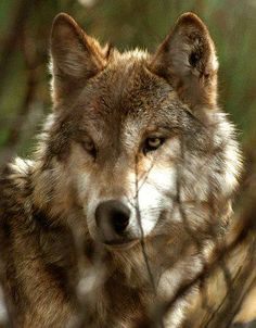 Their paw prints lead you along trails of discovery and insight. To look in their eyes forever imprints your heart. To hear their howl forever marks your soul. To connect with them, forever bonds your spirits.
