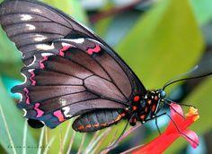 ~~ Black Swallowtail Butterfly ~~