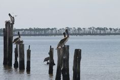 Pelicans on Mississippi Gulf Coast
