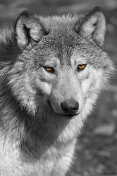 Timber wolf by Claudia Reinöhl on 500px**