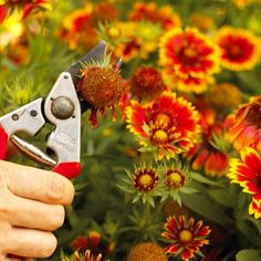 Most perennial flowers look best if you remove faded flowers. This is called deadheading. As a bonus, many perennials will push out another cycle of blooms after deadheading.   If your perennial flowers become too tall & leggy or flop open in the middle, try shearing them back to 6-12 inches above the ground. This type of haircut causes them to branch and become stockier.