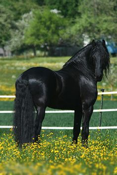 I am in love with the Friesian horses! They truly are amazing horses Most Beautiful Horses, All The Pretty Horses, Animals Beautiful, Stunningly Beautiful, Horses And Dogs, Wild Horses, Black Stallion, Friesian Horse, Andalusian Horse