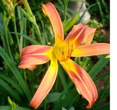 Valley of the Daylilies : OLD FASHION MAIDEN