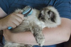 When you choose a long-haired cat as a pet, you assume certain grooming responsibilities. Your long-haired cat's fur will require frequent brushing and combing to reduce matting. However, many cats do not enjoy being groomed, so chances are that you may postpone unpleasant grooming sessions, only to have to deal with matted fur later down the road.