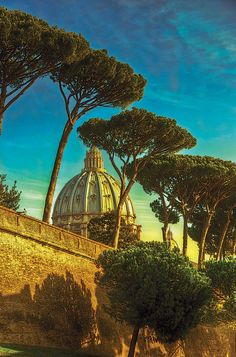 Umbrella pine trees near the Vatican.