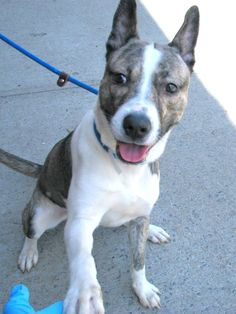 TO BE DESTROYED - SATURDAY - 4/19/14 URGENT - Brooklyn Center  GAMBIT - A0996347  MALE, GR BRINDLE / WHITE, PIT BULL / SIBERIAN HUSKY, 10 mos STRAY -ABANDON   04/11/2014