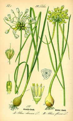 Fire Cider Recipe « Karuna Center for Yoga & Healing Arts, Northampton, MA Vintage Botanical Prints, Botanical Drawings, Botanical Art, Vintage Prints, Wild Onions, Bunny Book, Amaryllis, Home Garden Plants, Gravure