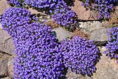 Blue Pillows - Planting, Care and Cutting - DIY Garden & Plants - Love Garden, Lawn And Garden, Diy Garden, Landscaping With Rocks, Backyard Landscaping, Landscaping Ideas, Outdoor Plants, Garden Plants, Drought Tolerant Landscape