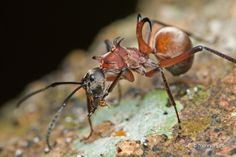 Fish-Hook Ant