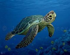 Sea Turtle Print - Fine Art Print From An Original Painting - - By Jeffrey Jenney - Ocean Art - Green Sea Turtle - Sea Turtle Wall Art Woman Shorts and Bermudas man woman wild in bermuda triangle Sea Turtle Painting, Sea Turtle Art, Turtle Love, Ocean Turtle, Baby Sea Turtles, Cute Turtles, Sea Turtle Pictures, Sea Turtle Images, Ocean Art