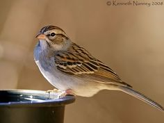 Chipping Sparrow - North-Central Texas Birds
