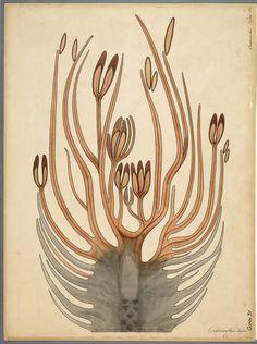 Cordaianthus Penjoni, D.H. Scott, Studies in fossil botany, 1909
