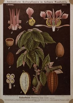 #Cacao Wall Chart used to teach #botany students