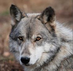 Argus. Born: April, 2011; one of the Main Pack at Wolf Hollow sanctuary, Massachusetts.
