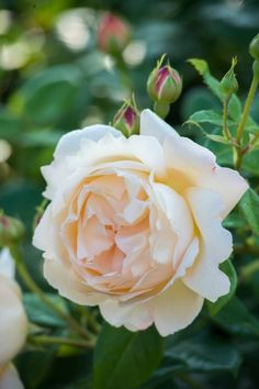Most Fragrant English Roses - Wollerton Old Hall, David Austin Roses