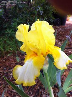 TB Iris germanica 'Glazed Gold' (Brown, 1985)