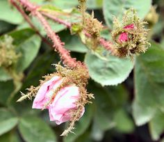 Another picture of the Moss Rose. So old-fashioned and almost magical looking...