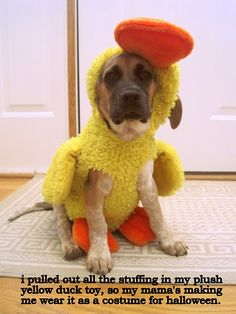 i pulled out all the stuffing in my plush yellow duck toy, so my mama's making me wear it as a costume for halloween.  —-mooji, 4 months old. - Click image to find more animals Pinterest pins
