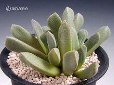 Stomatium albifrosea