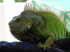 www.petclic.es la mayor tienda online de productos para #mascotas. La mayor biblioteca de contenido y consejos sobre mascotas. 1.000 consejos. 50.000 imagenes. Foto de #animales #reptiles iguana verde