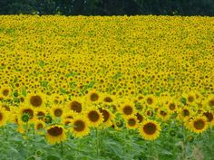 Sunflower fields forever (at Pope Farm Conservancy)!