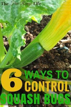 6 Ways to Get Rid of Squash Bugs in Your Garden- Naturally! Squash bugs can be devastating to the home garden. Learn how to control squash bugs naturally with 6 easy tips and take back your garden! Organic Vegetables, Growing Vegetables, Organic Fruit, Organic Herbs, Growing Tomatoes, Vegetable Garden Planner, Vegetable Gardening, Squash Bugs, Garden Guide