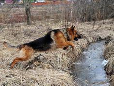 I got: Your Inner Dog is The German-Shepherd! What Is Your Inner Dog? German Shepherd Wallpaper, German Shepherd Pictures, German Shepherd Dogs, German Shepherds, Rottweiler, Schaefer, Belgian Malinois, Pit Bull, Best Dogs