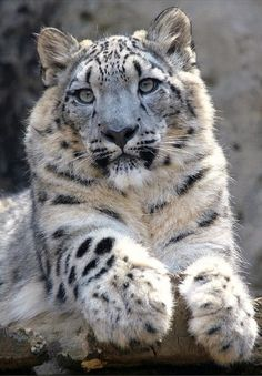 snow leopard AWSOME and beautiful ✨ - Animals Big Cats, Crazy Cats, Cats And Kittens, Cute Cats, Animals And Pets, Baby Animals, Cute Animals, Wild Animals, Beautiful Cats