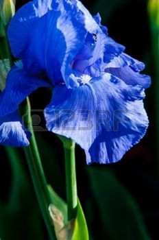 yellow iris flower: Blue flower irises- nature spring sunny background. Soft focus with bokeh.