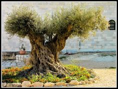 One of the many 'old-timers' which Israel can boast, dating back over 2,000 years!! These beautiful, majestic olive trees can be found near the cities of Lod and Beit Shemesh, in the Arbel Valley and in Jerusalem's Ein Kerem.  Israel