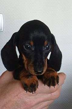 Dachshund puppies are the cutest dogs I have ever seen. This makes me want a puppy but we already have 3 dachshunds. So cute though. Dachshund Puppies, Weenie Dogs, Dachshund Love, Cute Puppies, Daschund, Doggies, Puppy Care, Pet Puppy, Dog Cat