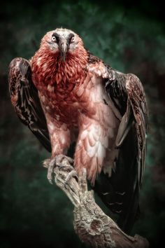 """""""The Bonebreaker"""" by Manuela Kulpa. The """"giants"""" of Europe: The bearded Vulture (Gypaetus barbatus) is a scavenging raptor which feeds mainly upon bones collected from carcasses of dead vertebrates."""