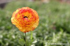 Picture of Persian buttercup, More flower pictures on this website! Flower Pictures, Some Pictures, Persian Buttercup, Colorful Flowers, Flower Colors, Ranunculus, Greenery, Rose, Plants