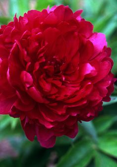 """PHILIPPE RIVOIRE~Although fragrant red peonies are hard to find, this rose-scented legend is """"positively sweet-smelling"""""""