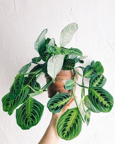 to House Plants — Lee From America Intro to houseplants! Add some sweet plant energy to your home.Intro to houseplants! Add some sweet plant energy to your home. Trees To Plant, Plant Leaves, Low Maintenance Indoor Plants, Plantas Indoor, Chlorophytum, Prayer Plant, Plant Aesthetic, Decoration Plante, House Plants Decor
