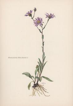 Botanical Print Aster amellus European by AntiquePrintGarden