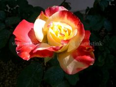 A Rose Is A Rose by ClinkandStink on Etsy, $2.00