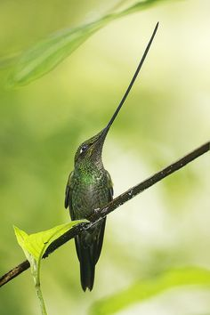 ˚Perched Swordbilled Hummingbird ~~ Wow, a bill as long as its body, must make it hard to get around.
