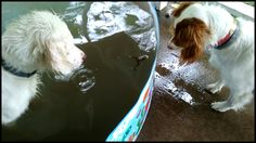 """""""Visitor in the pool"""" My English Setters, Angus and Biscotti, found a frog."""
