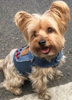 Yorky Terrier, Cute Puppies, Dogs And Puppies, Dog Sounds, Yorkshire Terrier Dog, Yorkie Puppy, Dog Harness, Little Dogs, Dog Rules